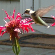 Ruby-throated hummingbird visiting beebalm in Acton. Photo by Peter Norton.