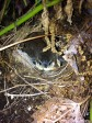 Baby Carolina wrens