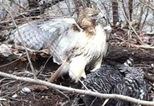 Rosemary Sedgwick photographed this red-tailed hawk in the act of killing one of her chickens. Boxborough, MA.