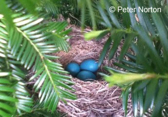 Robin's nest, Acton, Mass.