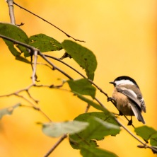 Black-capped Chickadee, Yapp Conservation Area, Littleton, MA