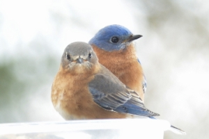 Bluebird pair in winter