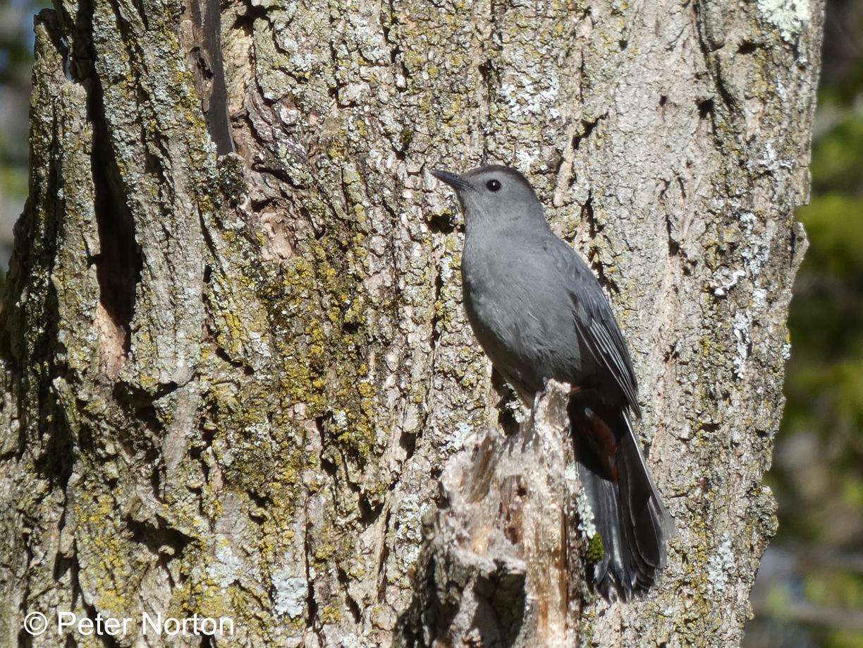 Gray Catbird, Assabet River National Wildlife Refuge