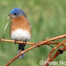 cropped-bluebird-pn-345x240-1.jpg