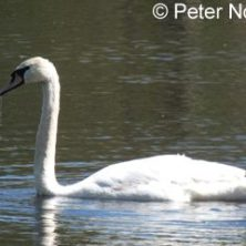 cropped-mute-swan-pn-345x240-1.jpg